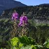 Onagraceae - <br /> Chamerion angustifolium - Fireweed