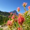 Alpine Paintbrush (Castilleja rhexifolia)