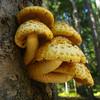 Pholiota squarrosa - Shaggy Scalycap