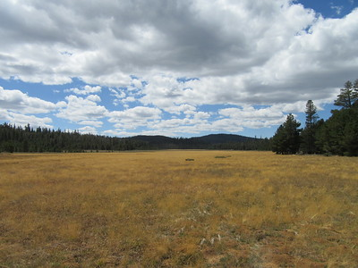 ... leading me across Big Dry Meadow to its south side and my next trail junction.  When I looked west down the length of the meadow, I noticed that no cattle were in it.  However, when I reached the trail junction (8,720') and turned to hike along side the meadow (through the trees on the left side of the photo) ...