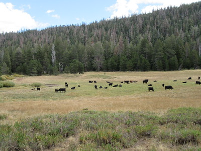 ... a herd of cattle in its front yard by Long Canyon Creek.