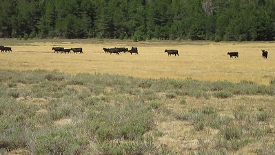 ... the cattle ran out into the meadow.  What a stampede. I was almost ready to sing the theme song from Rawhide and see Rowdy Yates (aka Clint Eastwood) come riding across the meadow.  Seriously, these cattle were a lot more sensitive to a hiker than those in Casa Vieja Meadows.