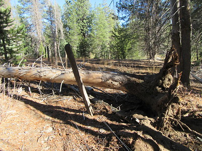 As I hiked around the perimeter of Grey Meadow, I found a tree that had fallen across the fence, ...