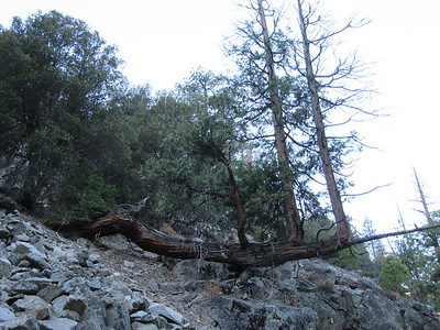 Nearby was this interesting tree which had once fallen down onto some rocks and then had branches grow upward like new trees, which is ...