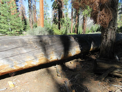 There was this monster of a blowdown across the trail at the rim of Kern Canyon, but it is easy for hikers and stock to get around.