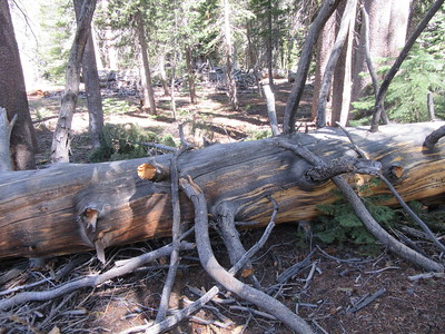 ... soon ran into this large blowdown across the trail, one of 17 (ranging from 6 to 30 inches in diameter) between Casa Vieja Meadows and Redrock Meadows.  The Forest Service already had this section of trail scheduled for work and they will be gone in a few days.  If you are interested in the sawyer work required (or just have a fetish for trees across the trail), see http://tinyurl.com/ybnr897u