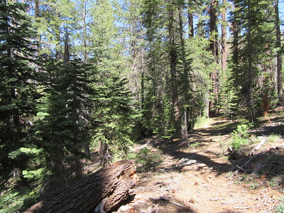 ... which continually rolls up and down as it goes through thick pine forest.