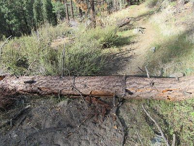 ... I came to the first of six blowdowns across the trail between Trout Meadow and Little Kern Bridge.  As is normal, I provided this and other trail condition info to the Forest Service to help with trail maintenance.
