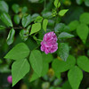 Rosa acicularis - Wild Rose