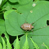 Acrosternum hilare (adult) - Green Stinkbug adult