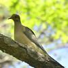 Zenaida macroura - Mourning Dove