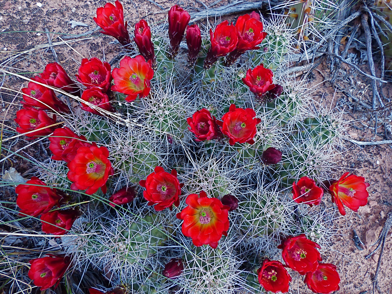 Lots of flowering cactus in Grand Gulch.