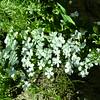 Polemoniaceae - <br /> Phlox multiflora - Manyflowered Phlox, Flowery Phlox