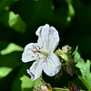 Geraniaceae - <br /> Geranium viscosissimum - Sticky Geranium