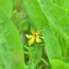 Hypericaceae - <br /> Hypericum formosum - Western St. John's-Wort