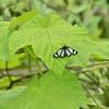 Gnophaela latipennis - Sierra Pericopid Moth