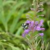 Gnophaela latipennis - Sierra Pericopid Moth<br /> Chamerion angustifolium - Fireweed