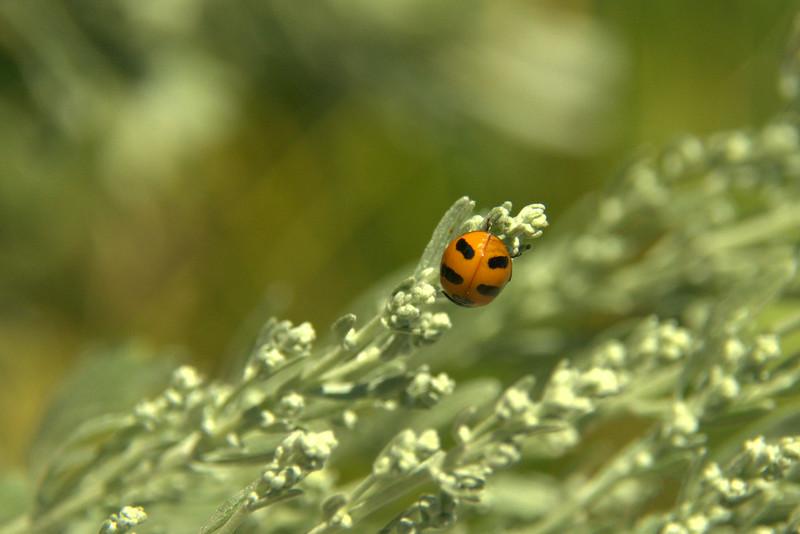 Coccinella transversoguttata - Transverse ladybeetle