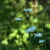 Leucanthemum vulgare - Oxeye Daisy