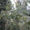 Populus tremuloides - Quaking Aspen