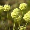 Polygonaceae - <br /> Eriogonum umbellatum - Sulfur Buckwheat