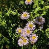 Erigeron speciosus - Showy Fleabane