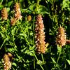 Lamiaceae<br /> Agastache urticifolia - Giant Hyssop, Horse-nettle, Horse Mint