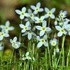 Rubiaceae - <br /> Houstonia serpyllifolia - Thyme-Leaved Bluets