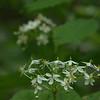Berberidaceae - <br /> Diphylleia cymosa - Umbrella Leaf