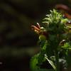 Orobanchaceae - <br /> Pedicularis canadensis - Wood Betony