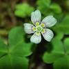 Oxalidaceae - <br /> Oxalis montana - Wood-sorrel