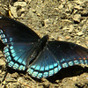 Limenitis arthemis - Red-Spotted Purple