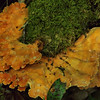 Laetiporus sulphureus - Chicken of Woods