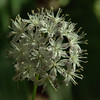 Clintonia umbellulata - Speckled Wood Lily
