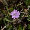 Dove's-Foot Geranium