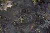 A bear track. I've seen several black bears in Itasca while deer hunting.