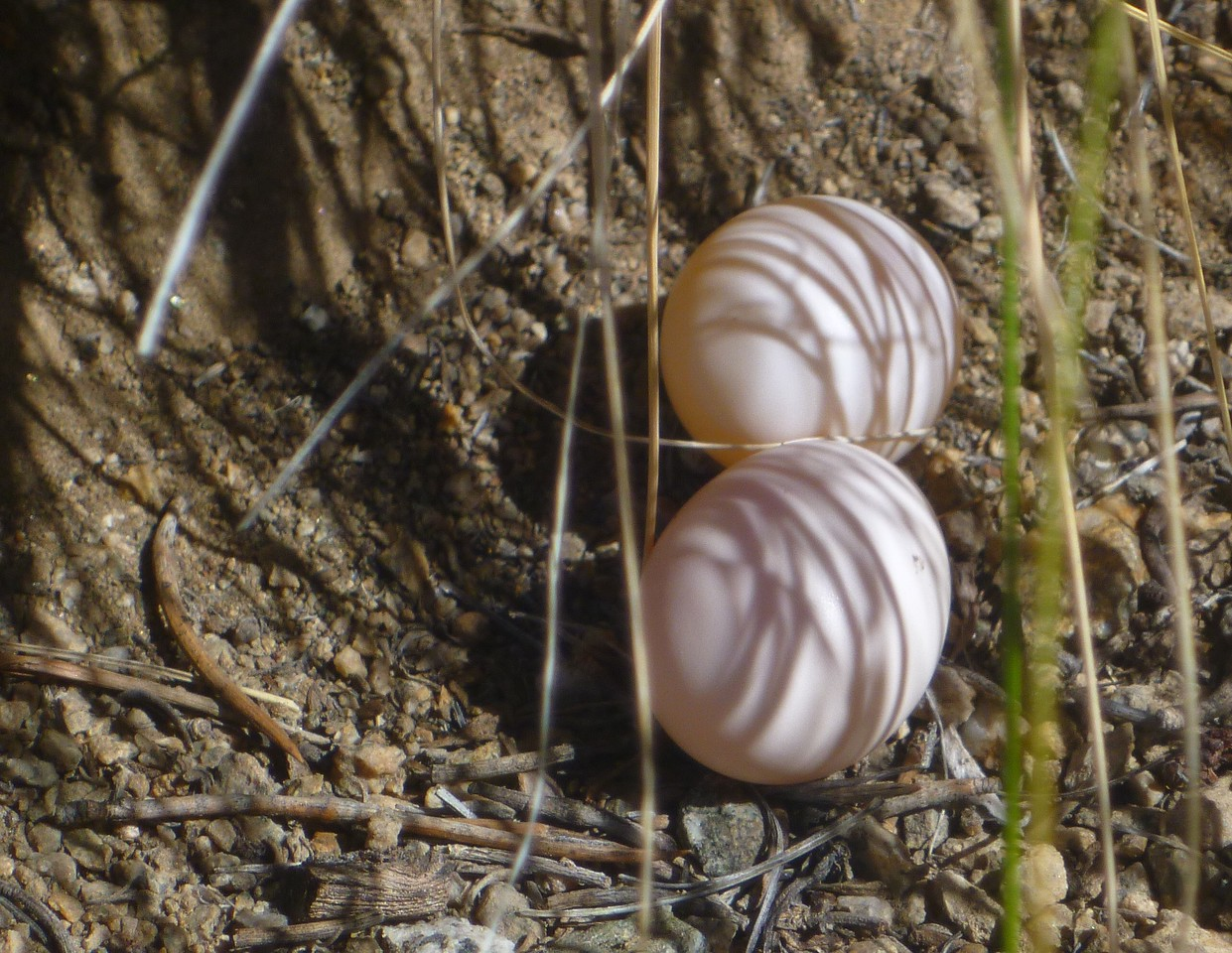 Day 5- I discover some eggs on the trail between Beveridge Ridge Cabin and Beveridge Mine site. I shield them with a rock to give some protection.