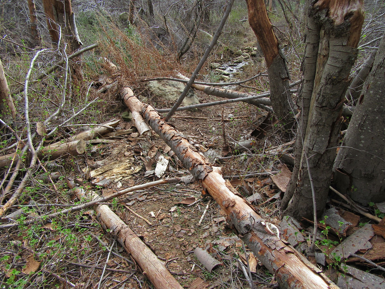 About two miles upstream from Beartrap Camp, the trail runs in the creekbed for about a quarter mile and it was strewn with logs, branches, boulders and washed/rutted out sections (and the latter factors will probably prevent travel by stock).
