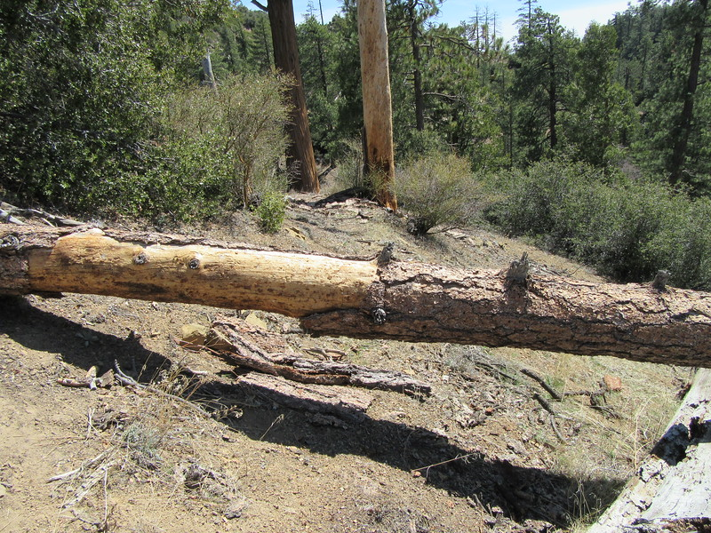 ... we continued down the trail, finding two blowdowns across it ...