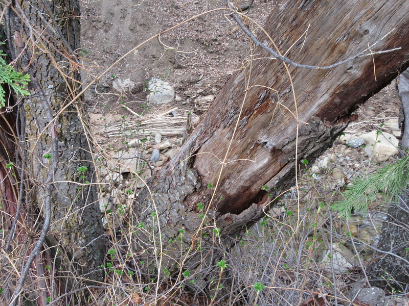 ... the broken trunk on the edge of the creek bank ...