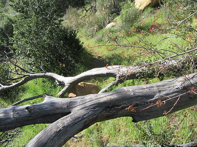 Between Sespe Creek and Harris Tunnel was this blowdown across the trail and ...