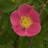 Rosa woodsii - Wild Rose