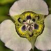 Calochortus gunnisonii - Mariposa Lily, Sego Lily