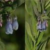 Boraginaceae - <br /> Mertensia ciliata - Streamside Bluebell