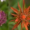 Orobanchaceae - <br /> Castilleja rhexifolia - Alpine Paintbrush