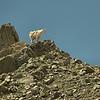 Oreamnos americanus - Mountain Goat
