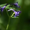Delphinium nuttallianum - Low Larkspur