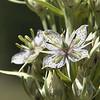 Gentianaceae - <br /> Frasera speciosa - Showy Green Gentian, Elkweed, Deer's Ears, Monument Plant