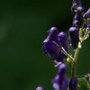 Aconitum columbianum - Western Monkshood