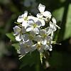 Brassicaceae - <br /> Cardamine pratensis - Cuckoo Flower, Lady's Smock